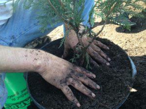 Christmas Tree Farm - Oak Grove Minnesota - Planting Trees