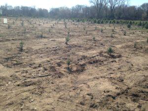 Christmas Tree Farm - Oak Grove Minnesota - Planting Christmas Trees