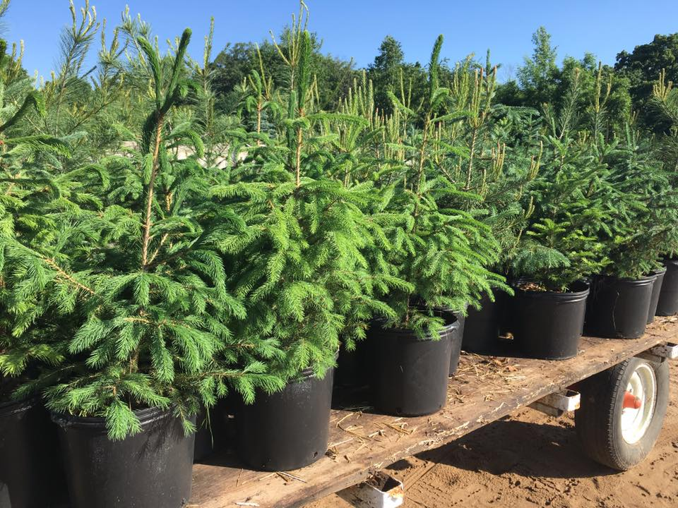 Landscaping Trees – Tree Nursery – Potted Trees 2