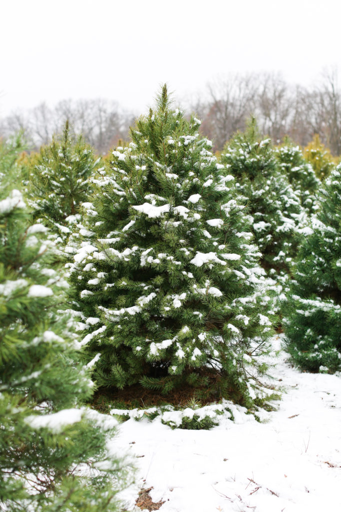 Real Christmas Tree - Tree Farm - Oak Grove Minnesota