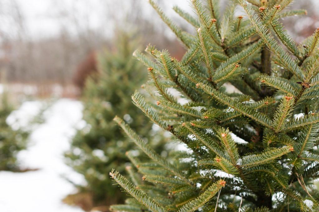 Christmas Tree Lot – Cut Your Own – Oak Grove Minnesota Farm 1. Downloads:  full (1800x1200)   large (980x654) ... - Christmas Tree Lot - Cut Your Own - Oak Grove Minnesota Farm 1 - Our