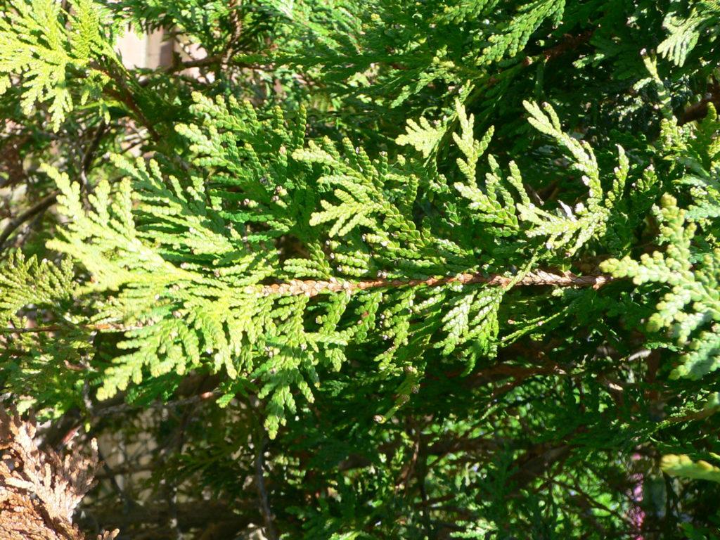 Our Farm Trees – Landscape Trees – American Arborvitae
