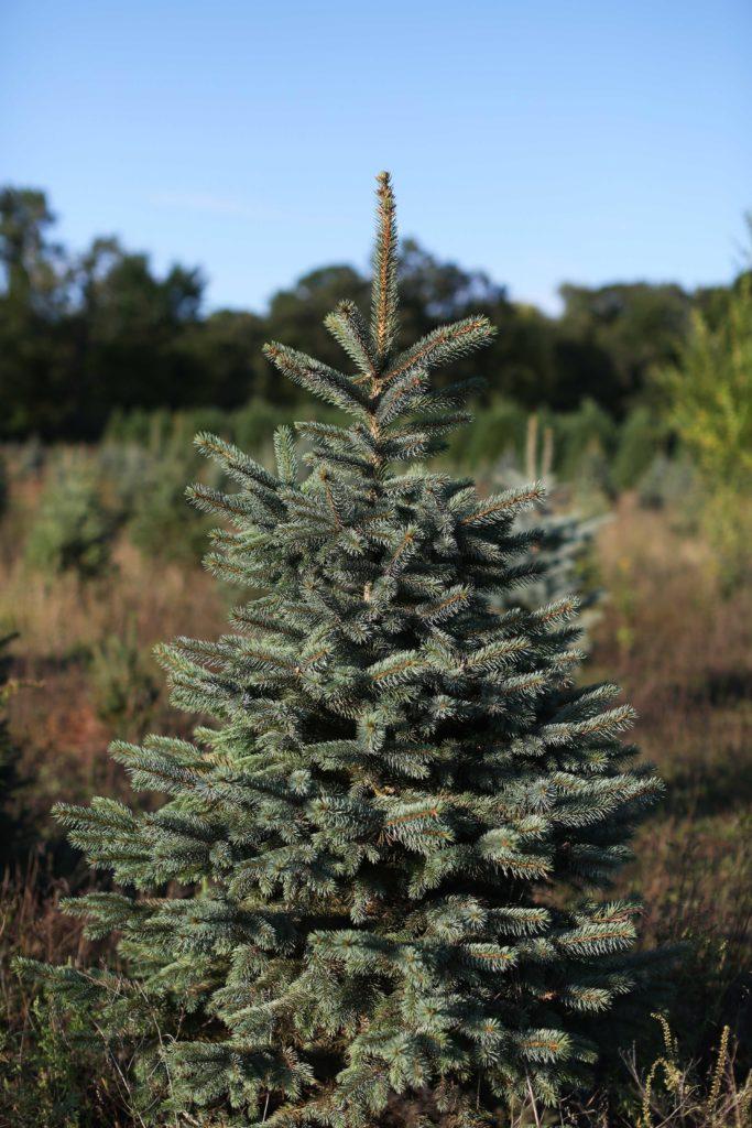 Our Farm Blue Spruce