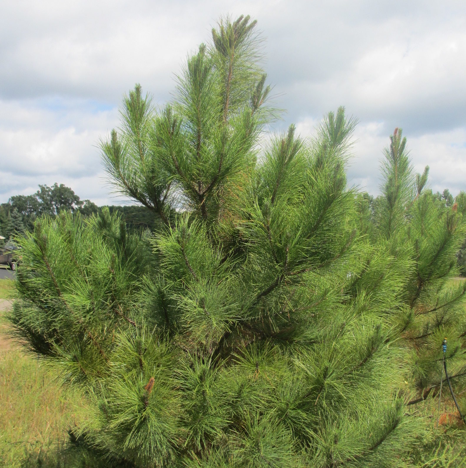 Norway Pine (Red Pine)