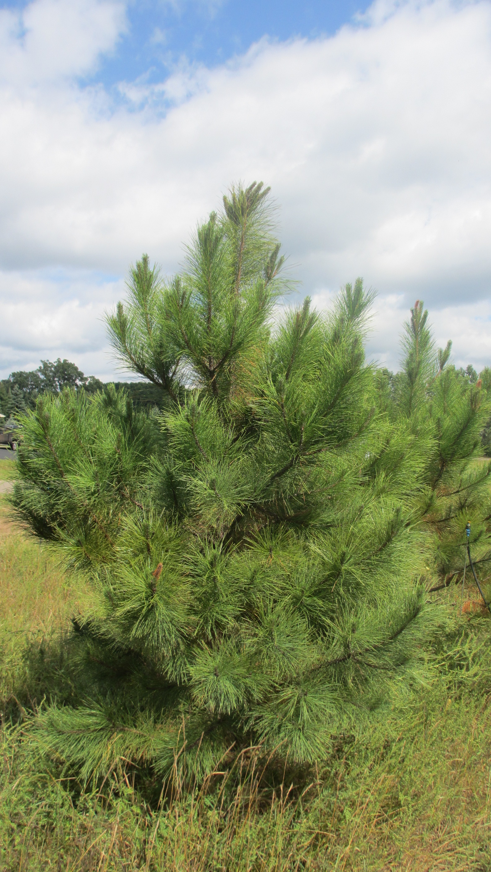 Our Farm Red Pine