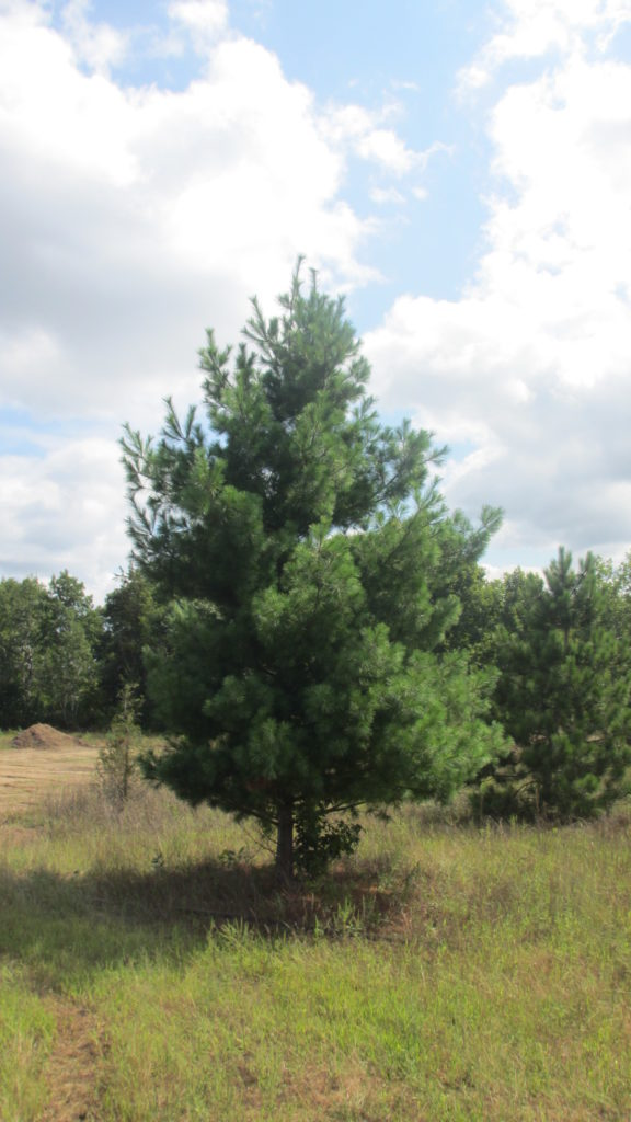 Our Farm White Pine